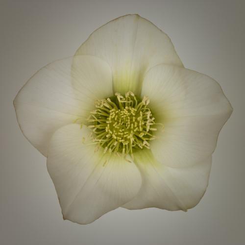 Hellebores Flower close-up by Assaf Frank