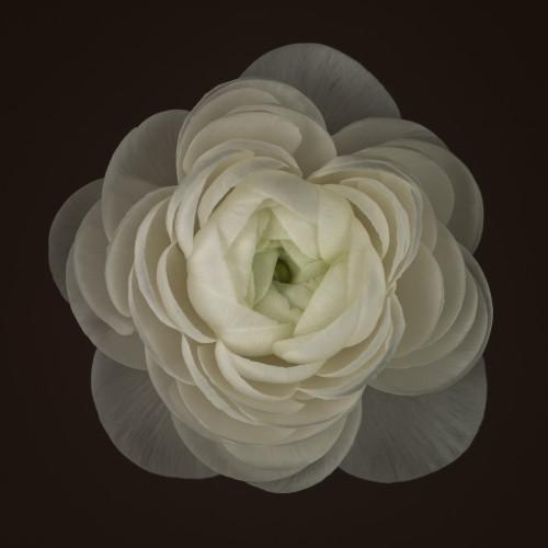 Ranunculus flower close-up by Assaf Frank