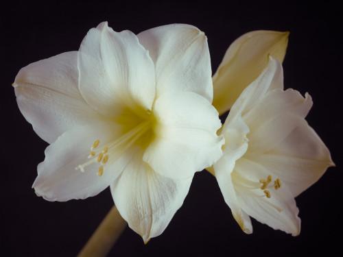 Close-up of White Amaryllis by Assaf Frank