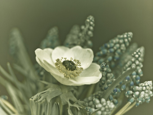 Close-up of anemone flower by Assaf Frank