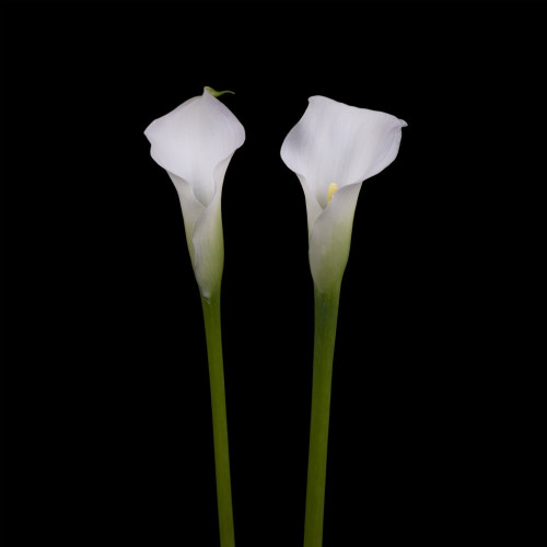 Two white calla lilies by Assaf Frank