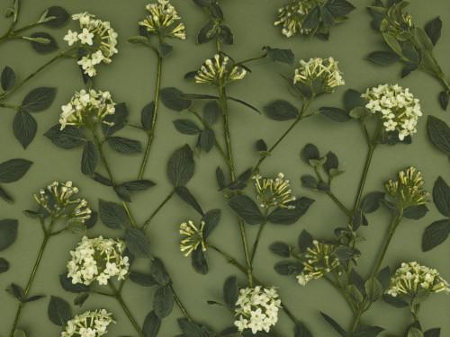 Close-up of Viburnum Juddii flowers and stems design, studio shot (B&W) by Assaf Frank