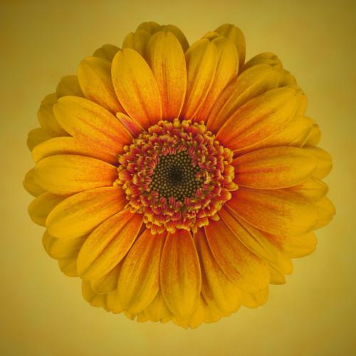 Close-up of Gerbera daisy by Assaf Frank