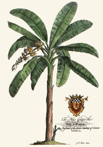 Palm Pl.16 Banana Palm Tree (Restrike Etching) by Georg Dionysus Ehret