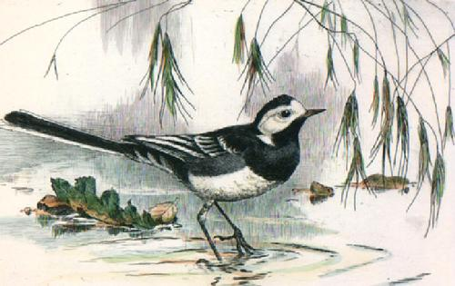 Water Wagtail (Restrike Etching) by Winifred Austen