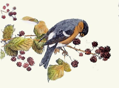 Bullfinch (Restrike Etching) by Winifred Austen