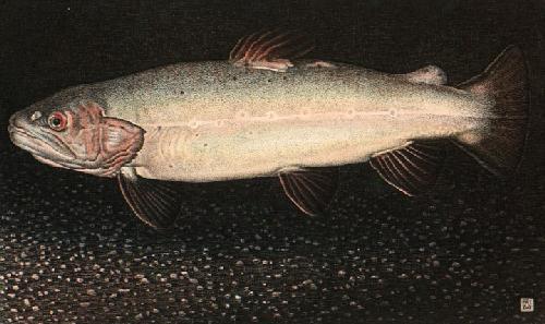 Brown Trout (Restrike Etching) by Alex Mackay