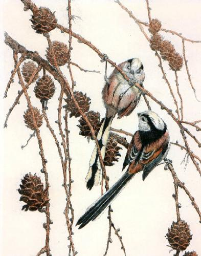 Long Tailed Tits (Restrike Etching) by Winifred Austen