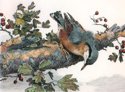 Nuthatch (Restrike Etching) by Winifred Austen