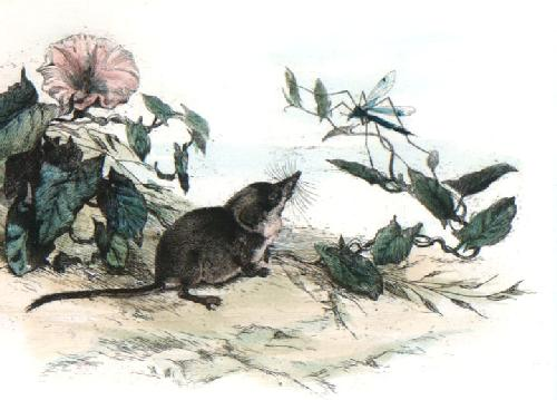 Vole (Restrike Etching) by Winifred Austen