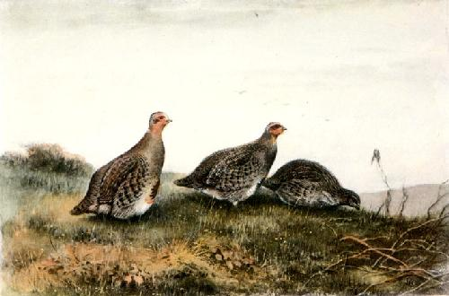 Partridge (Restrike Etching) by George Edward Lodge