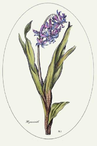 Hyacinth - Plate I (Restrike Etching) by Anonymous