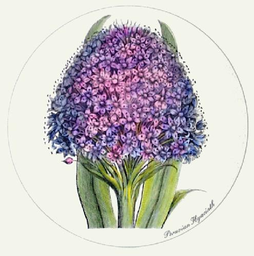 Peruvian Hyacinth (Restrike Etching) by Anonymous