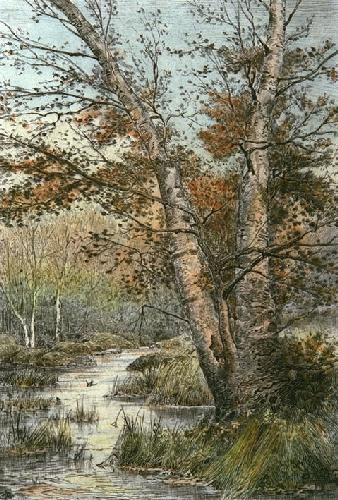 Silver Beeches (Restrike Etching) by Anonymous