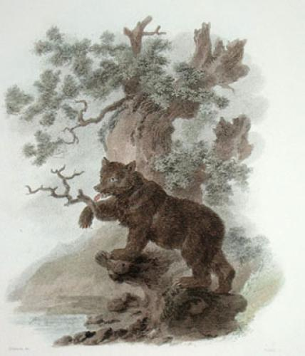 Brown Bear (Restrike Etching) by Julias Caesar Ibbetson