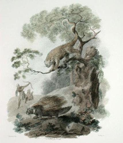 Crested & Brazilian Porcupine (Restrike Etching) by Julias Caesar Ibbetson