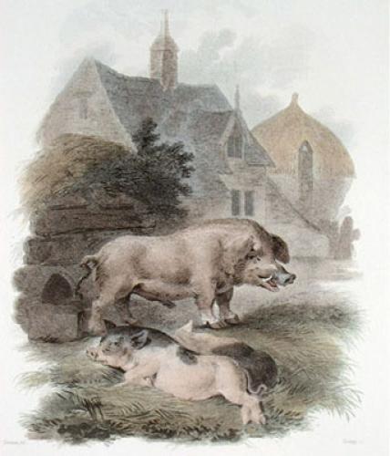 Boar & Chinese Hog (Restrike Etching) by Julias Caesar Ibbetson