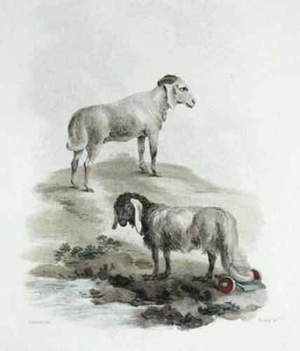 African & Broadtailed Sheep (Restrike Etching) by Julias Caesar Ibbetson