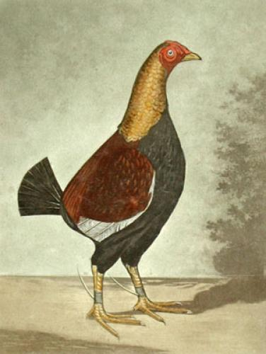 Blackbreasted Dark Red Champion (Restrike Etching) by C.R. Stock