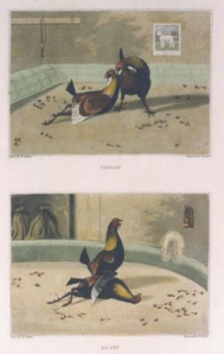 Cock Fighting Match Pl. II (Restrike Etching) by Henry Alken