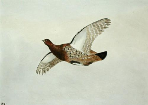 Partridge (Restrike Etching) by Anonymous