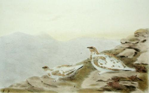 Grouse, Ptarmigan (Restrike Etching) by Anonymous