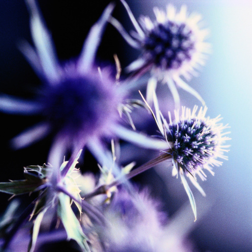 Lavender Thistle I by Erin Rafferty