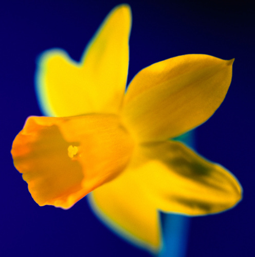 Daffy by Erin Rafferty