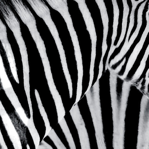 Zebra by Erin Rafferty