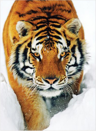 Tiger - Snow by Anonymous