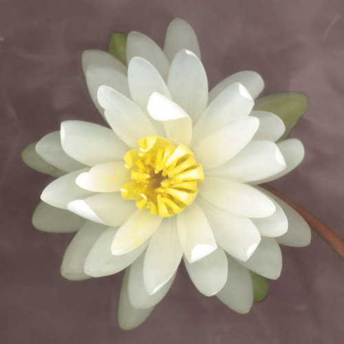 Water Lily by Erin Clark