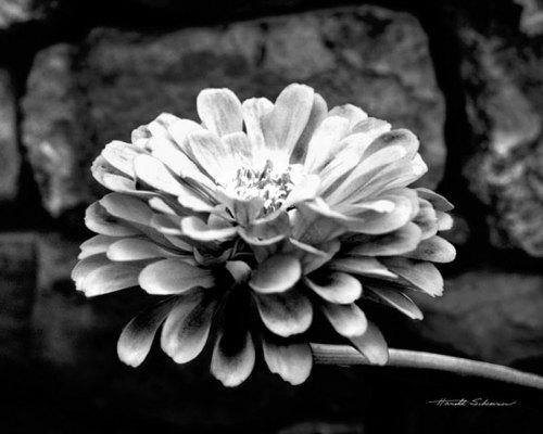 Zinnia by Harold Silverman