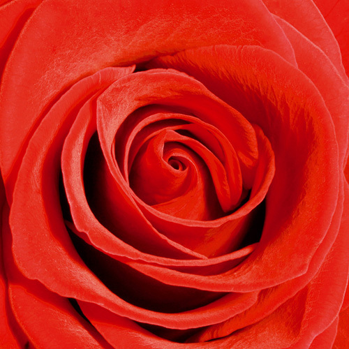 Scarlet Rose by Joseph Eta