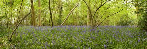 Wayland Woods Spring I by Richard Osbourne