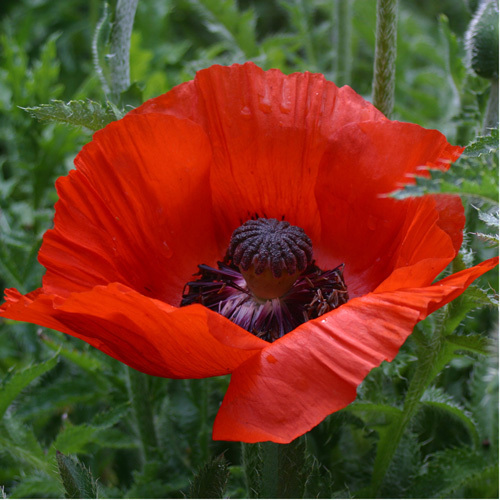 Poppy by Panorama London