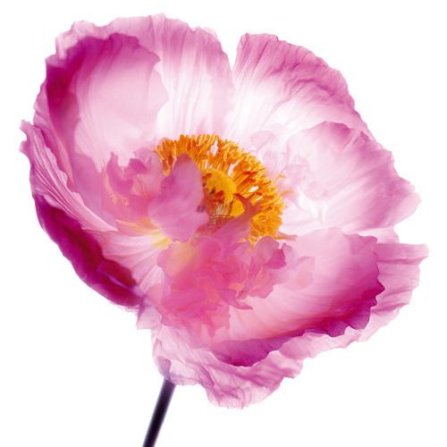 Pink Poppy by Ian Winstanley