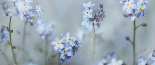 Forget-Me-Nots by Ian Winstanley