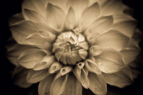 Dahlia by Charles Heady