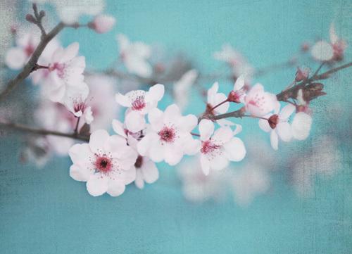 Plum Blossom by Shana Rae