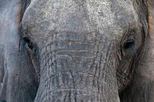 Elephant (Loxodonta africana), Abu Camp, Okavango Delta, Botswana by Sergio Pitamitz