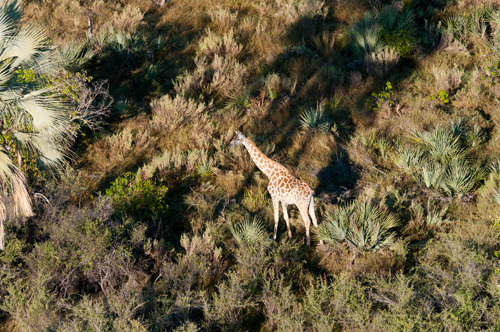 Aerial view of Okavango Delta, Giraffe (Giraffa camelopardalis), Botswana by Sergio Pitamitz