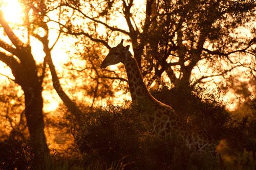 Giraffe (Giraffe camelopardalis), Okavango Delta, Botswana by Sergio Pitamitz
