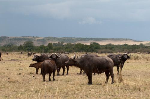 Cape Buffalo (Syncerus caffer), Masai Mara, Kenya by Sergio Pitamitz