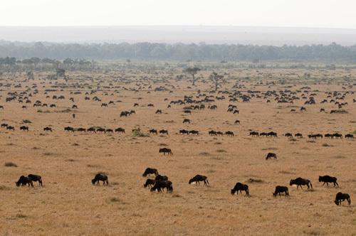 Wildebeest (Connochaetes taurinus), Masai Mara, Kenya by Sergio Pitamitz