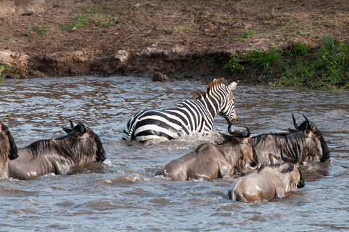 Wildebeest and zebra crossing Mara River during annual migration, Masai Mara, Kenya by Sergio Pitamitz