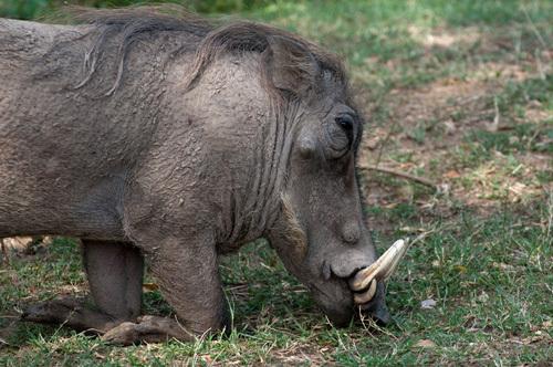 Warthog (Phacochoerus aethiopicus), Masai Mara, Kenya by Sergio Pitamitz