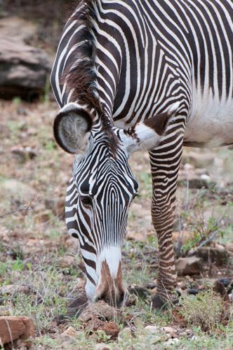 Grevy's Zebra (Equus grevyi), Samburu National Park, Kenya by Sergio Pitamitz