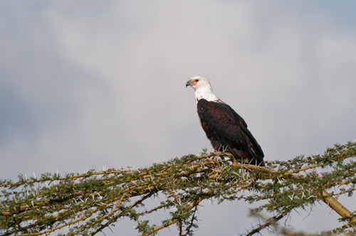 African Fish Eagle (Haliaeetus vocifer), Loisaba Wilderness Conservancy, Laikipia, Kenya by Sergio Pitamitz