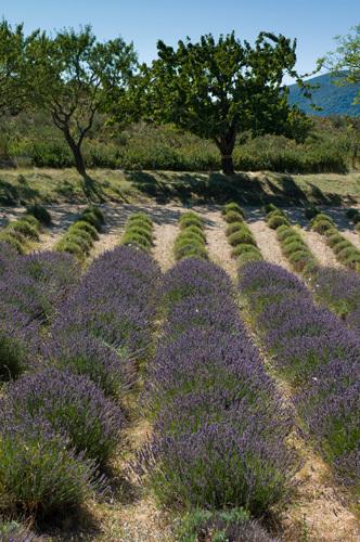 Lavender field, La Palud sur Verdon, Gorges du Verdon, Provence, France by Sergio Pitamitz