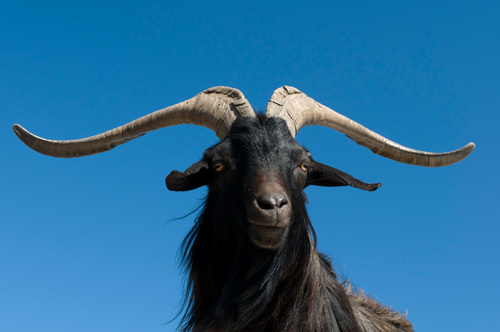 Mountain goat, Gorges du Verdon, Provence, France by Sergio Pitamitz